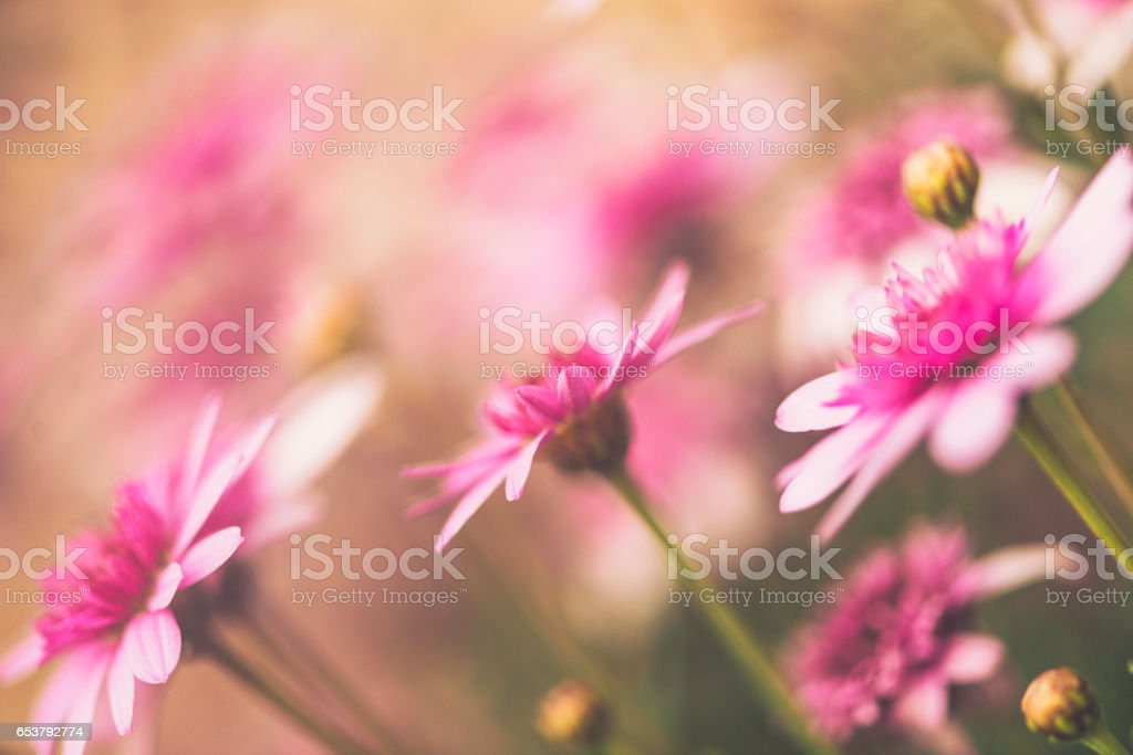Delicate pink flowers blooming in spring sunshine stock photo