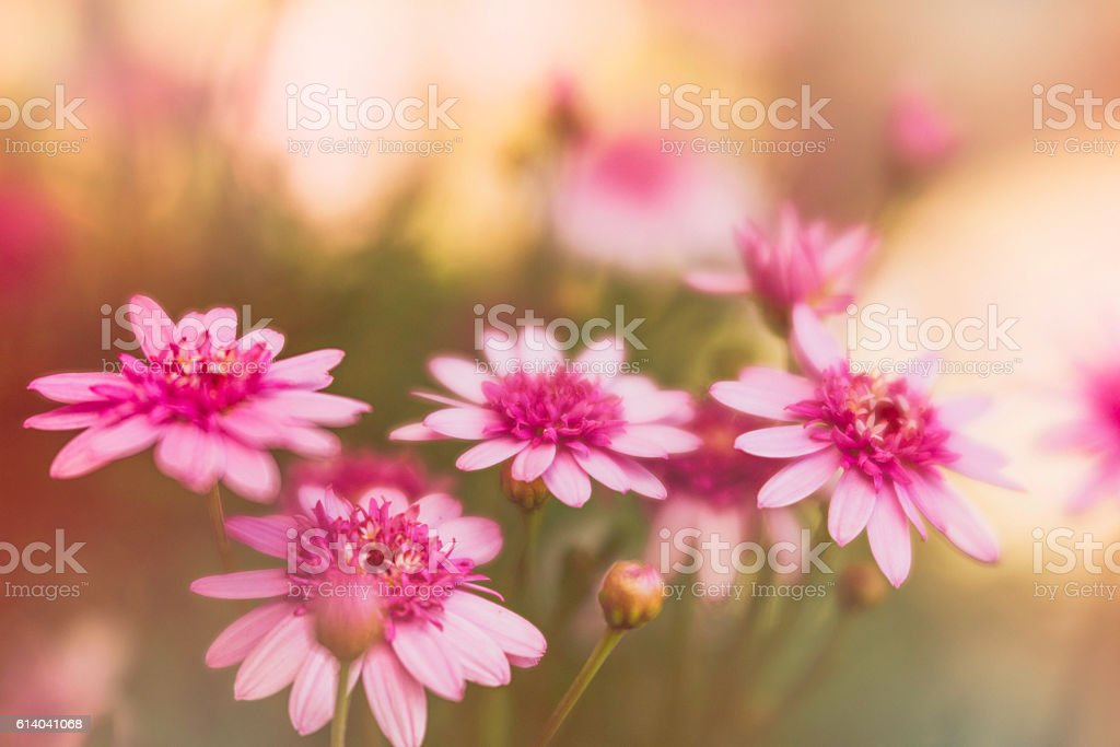 Delicate pink flowers growing in warm sunlight stock photo