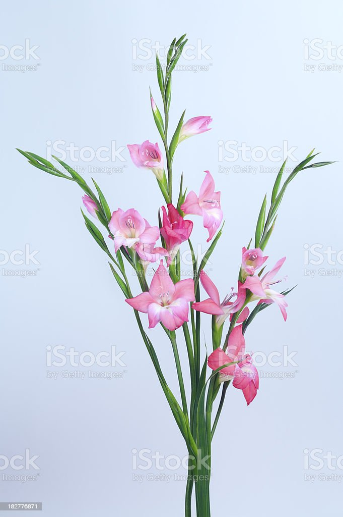 delicate pink flowers stock photo