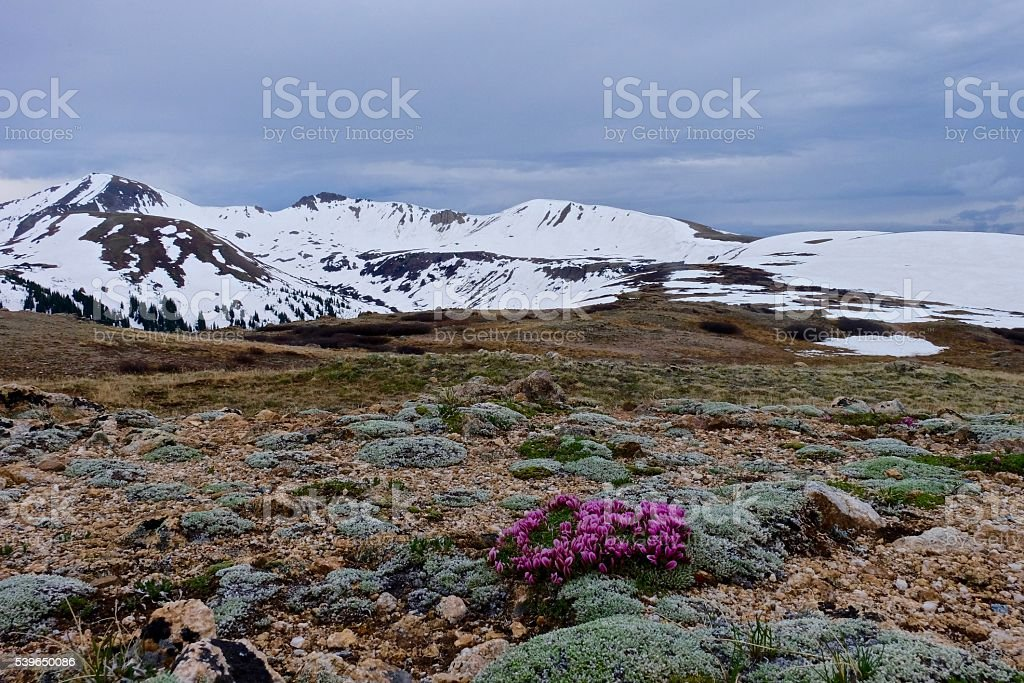Delicate Pink Flowes of Alpine Clover and Snow Capped Mountains. stock photo