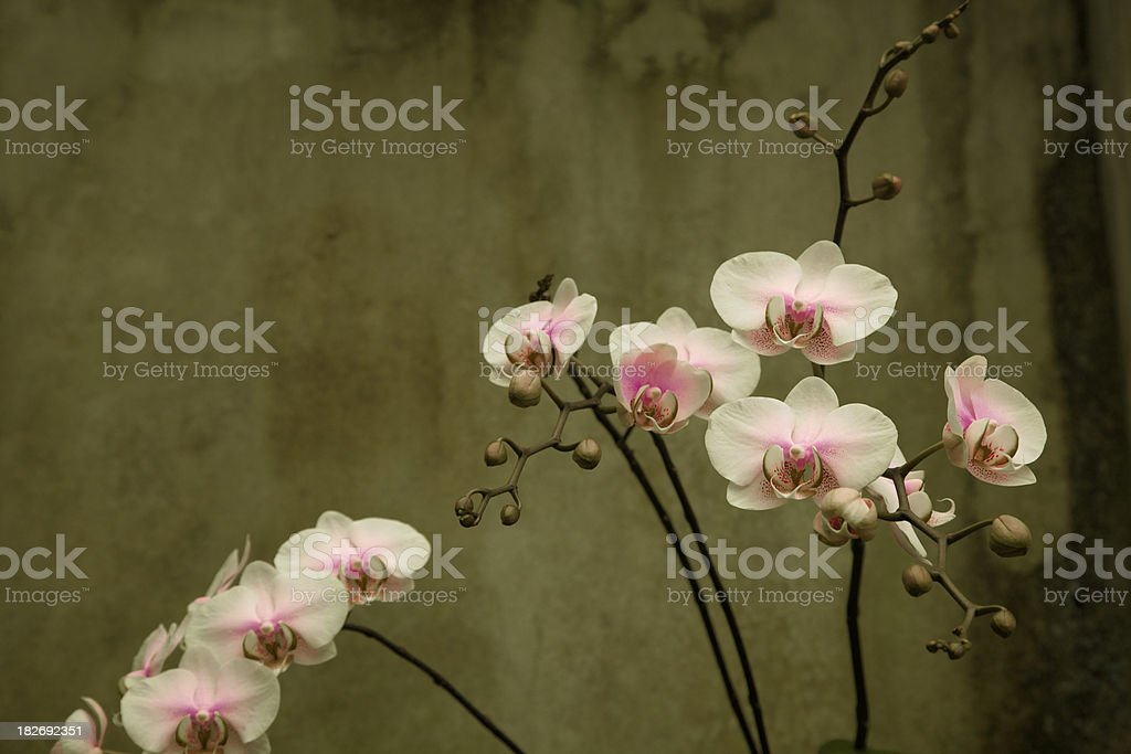 Delicate Pink Orchids Against Grunge Wall, Design Element royalty-free stock photo