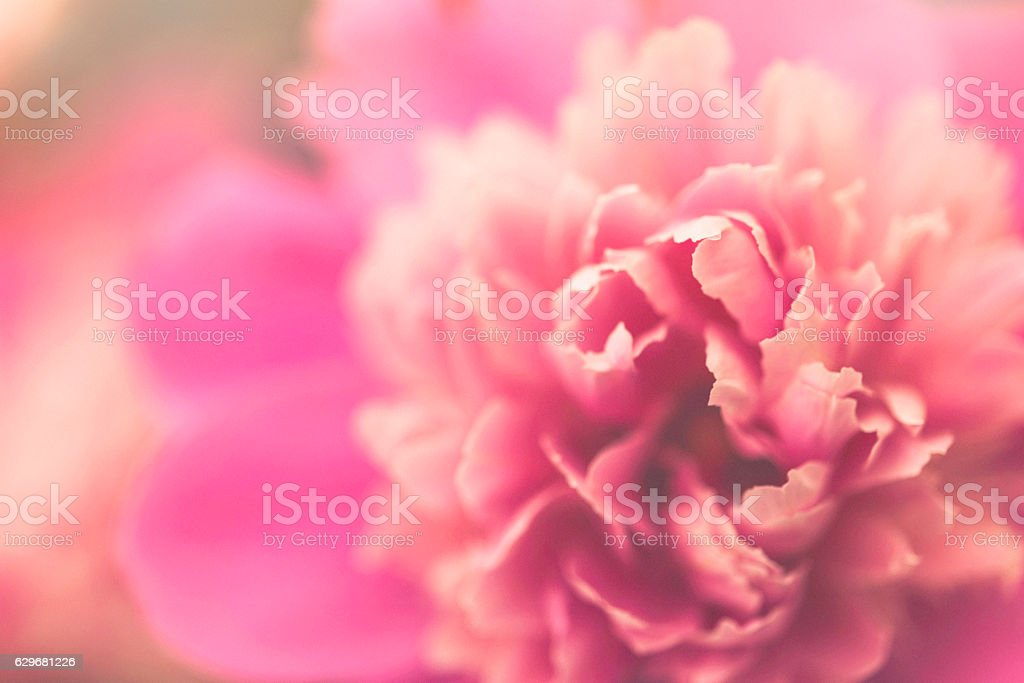 Delicate pink peony in full bloom stock photo