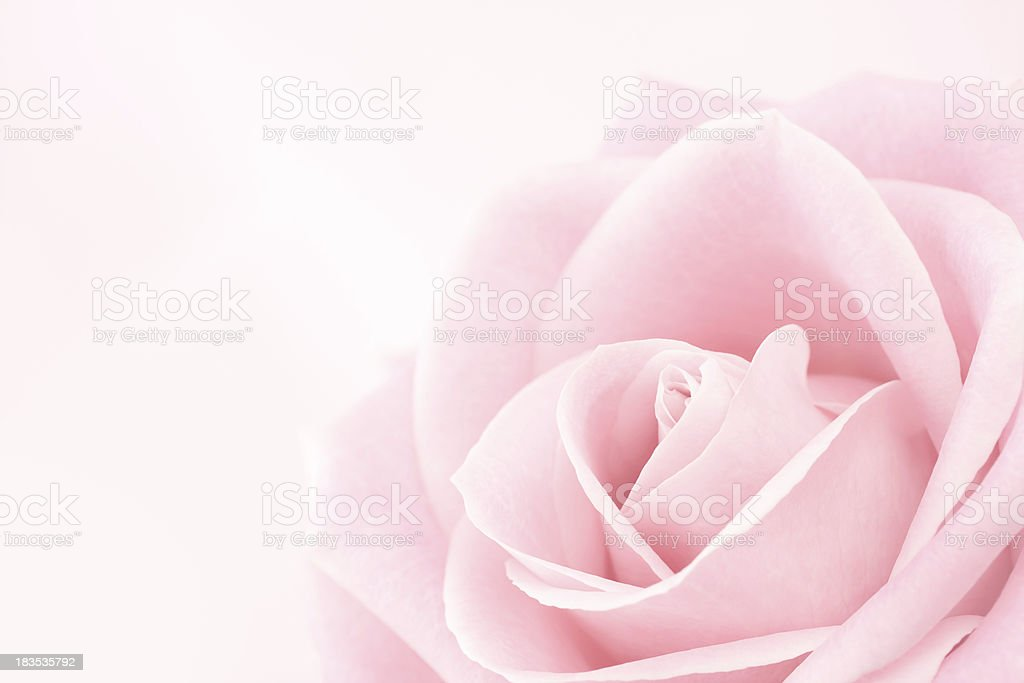 Delicate Pink Rose stock photo