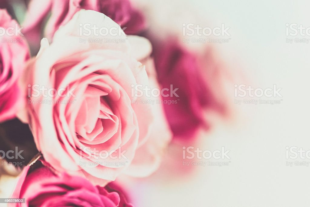 Delicate pink roses in full bloom and budding. Nature backgrounds. stock photo