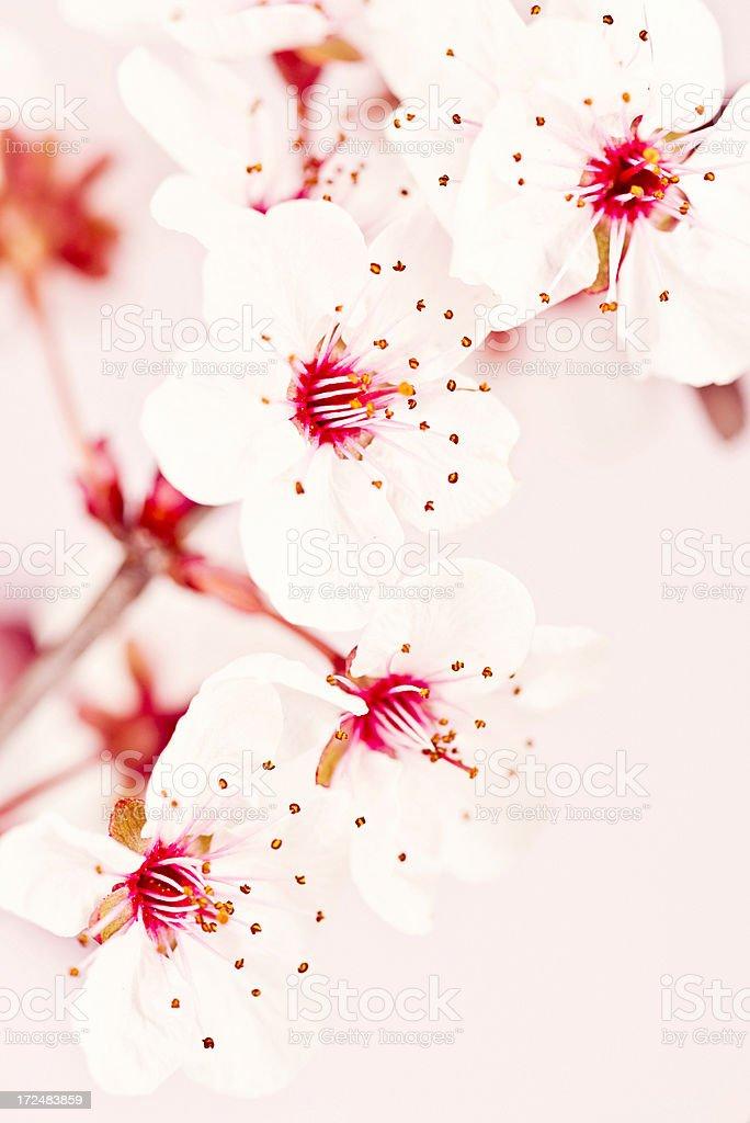 Delicate Pink Sakura royalty-free stock photo