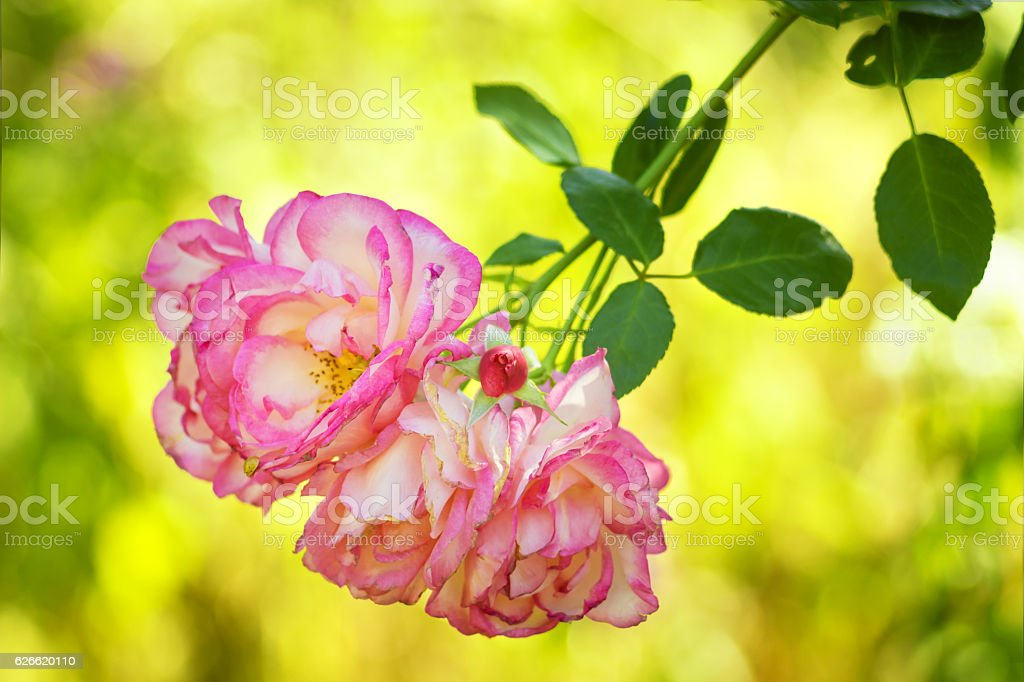 Delicate pink tea roses in nature. Sunny day stock photo