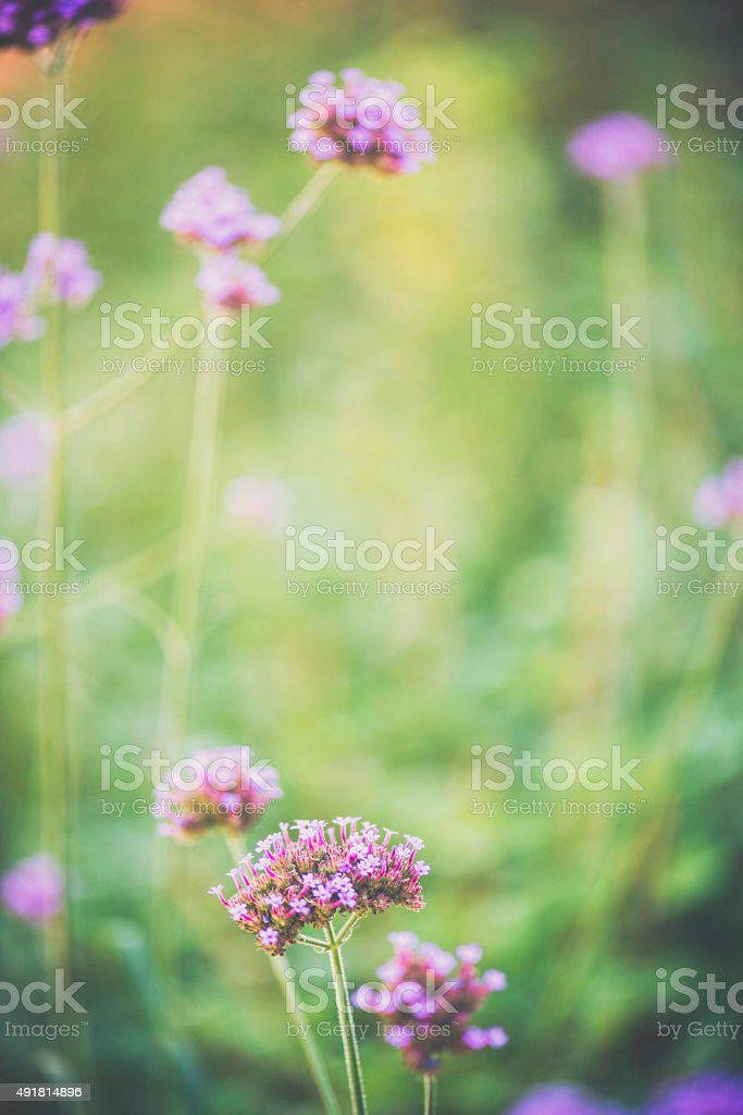 Delicate pink wildflowers in natural light stock photo