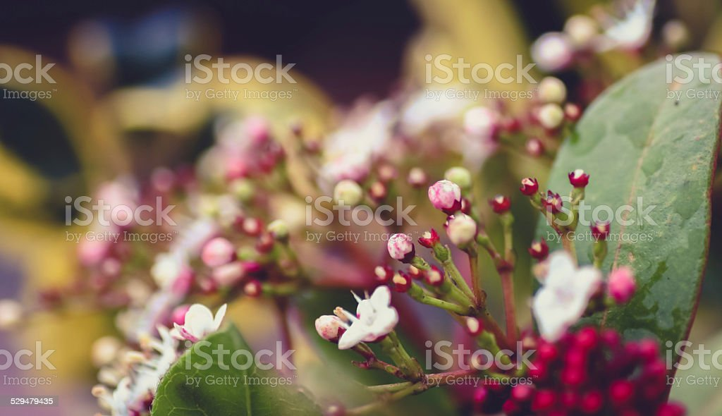 Delicate pretty pink viburnum flower with berries stock photo