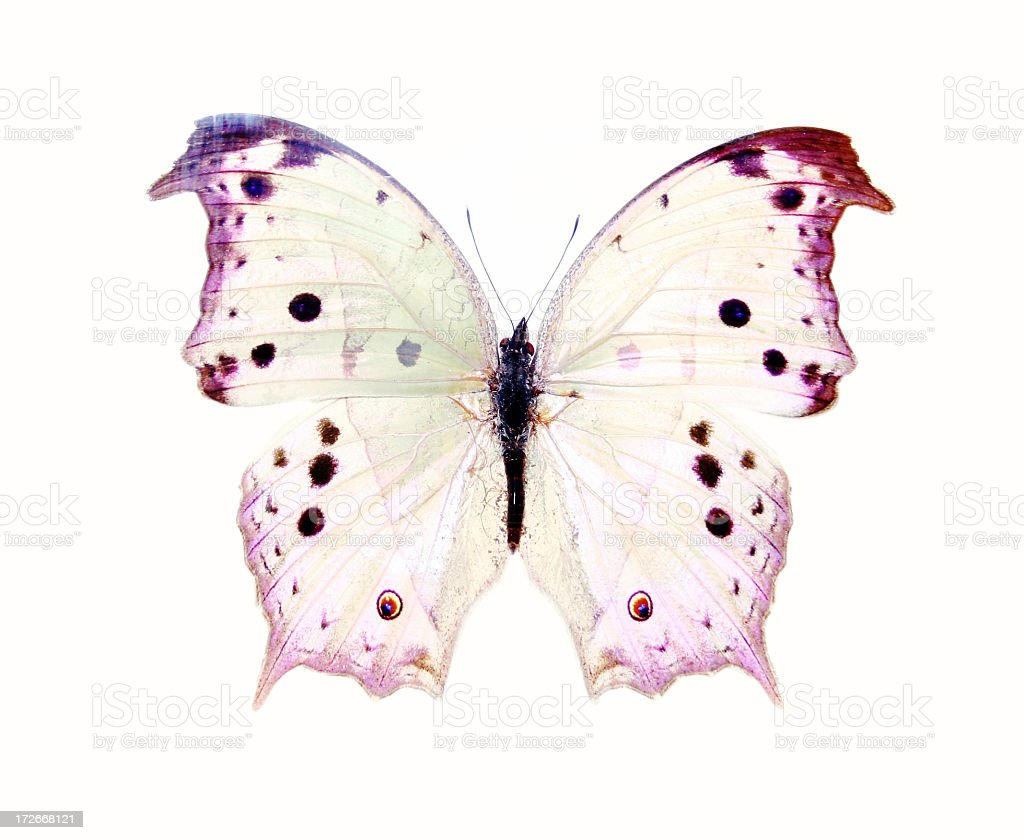 A delicate purple and white butterfly with transparent wings stock photo