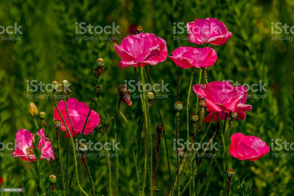 Delicate Red Poppy Wildflowers. stock photo