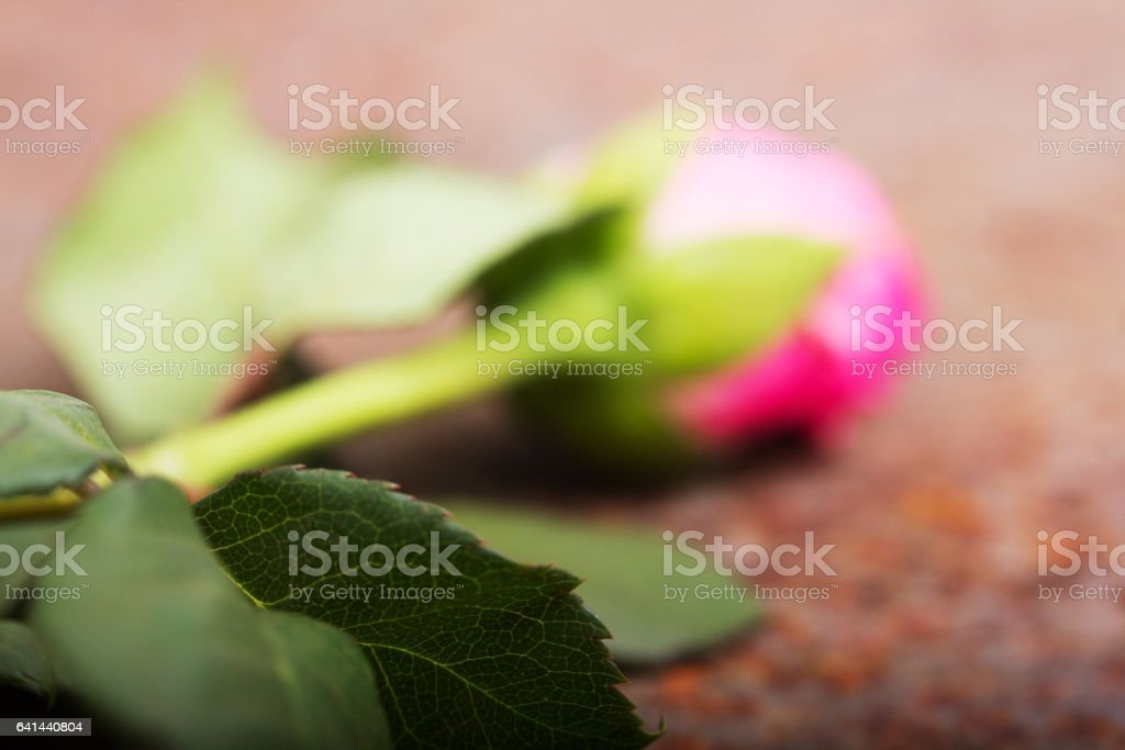 Delicate rose on a rustic metal background stock photo