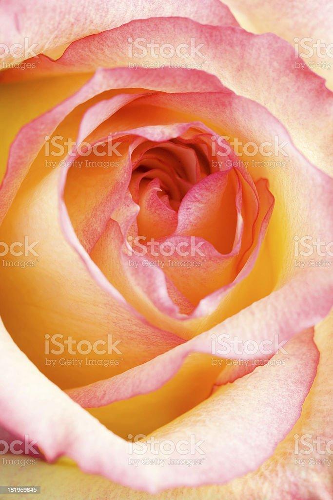 Delicate Rose stock photo