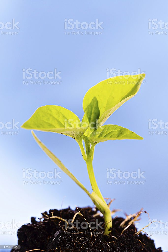 Delicate seedling in compost growing against sky blue background royalty-free stock photo