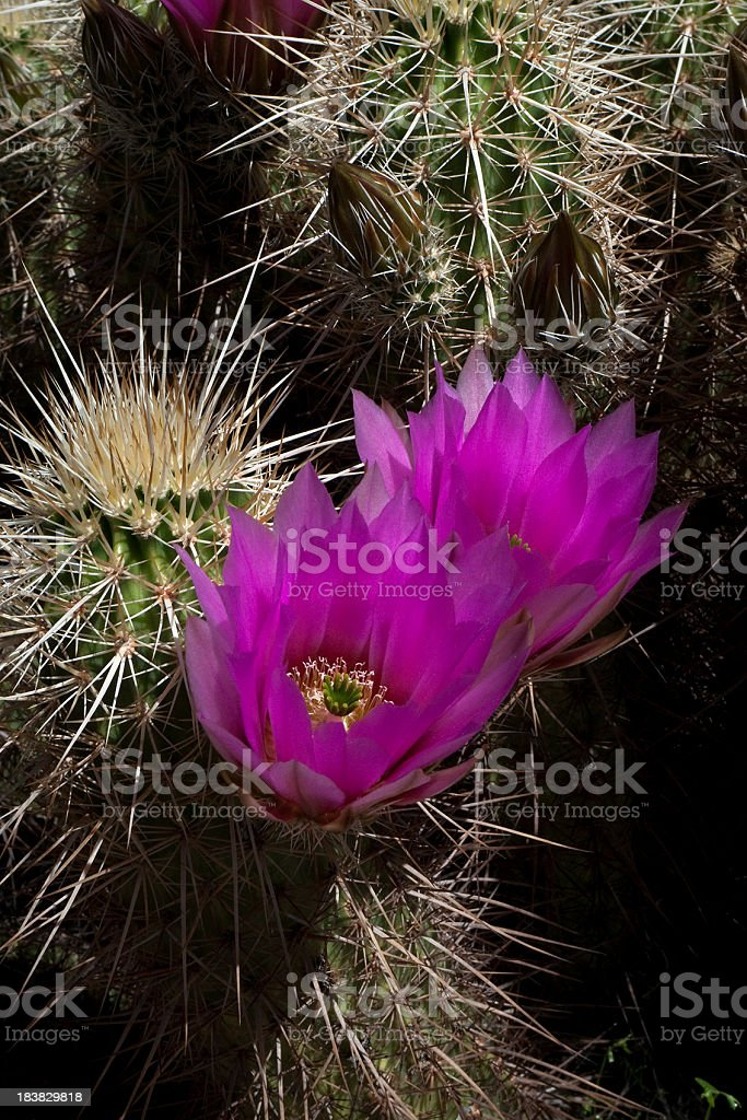 Delicate strawberry hedgehog cactus royalty-free stock photo