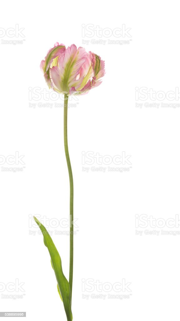 delicate tulip on white background stock photo
