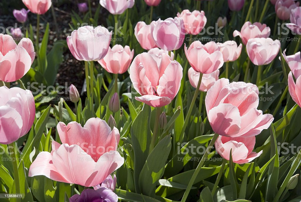 Delicate Tulips stock photo