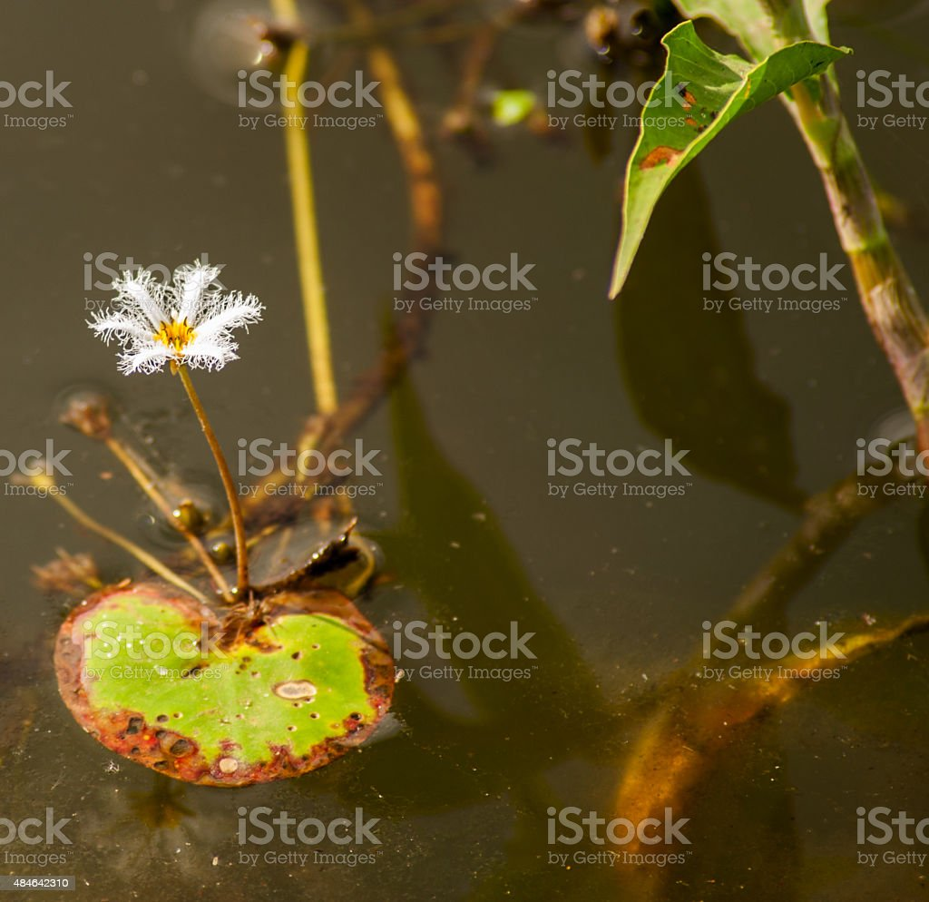 Delicate white flower lining in lakes Asia stock photo