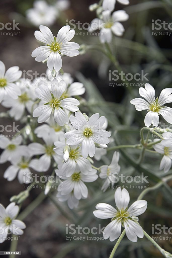 Delicate white flowers of the Cerastium biebersteinii stock photo