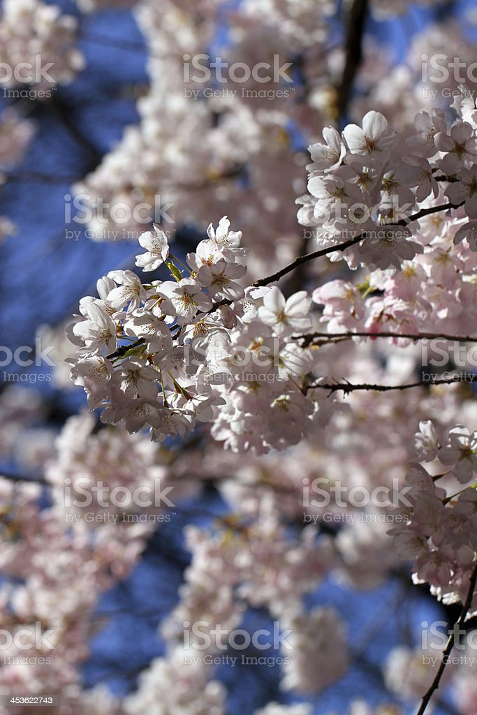 Delicate White Flowers royalty-free stock photo
