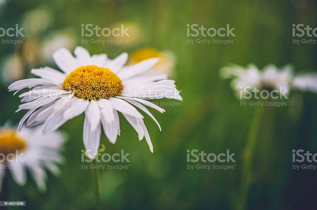Delicate white gerbera daisies growing wild in summer sunlight stock photo