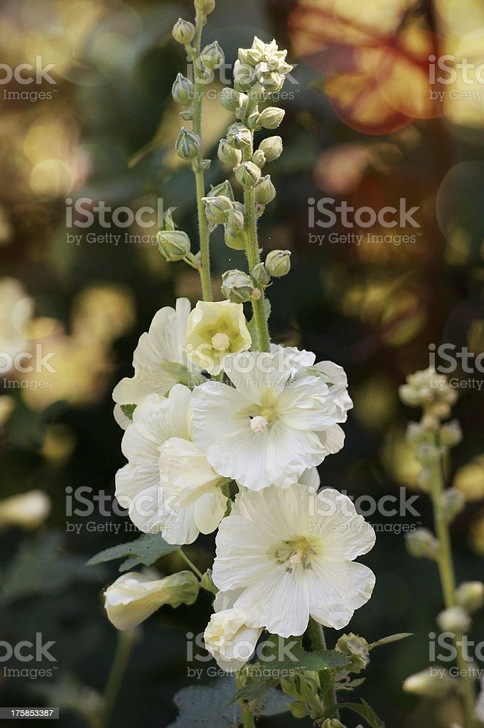 Delicate White Gladiolus with bokeh royalty-free stock photo