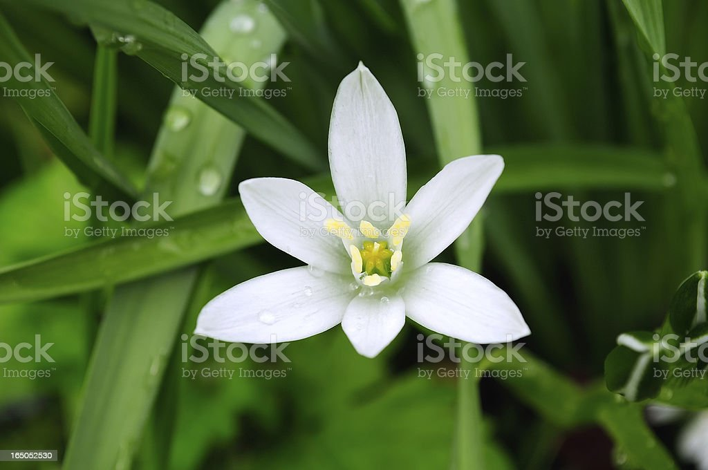 Delicate White Ornithogalum (Grass Lily) on Flower Bed in Summer royalty-free stock photo