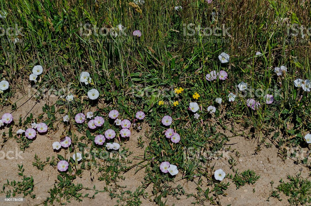 Delicate  wildflower white and rose bindweed (Convolvulus) on meadow stock photo