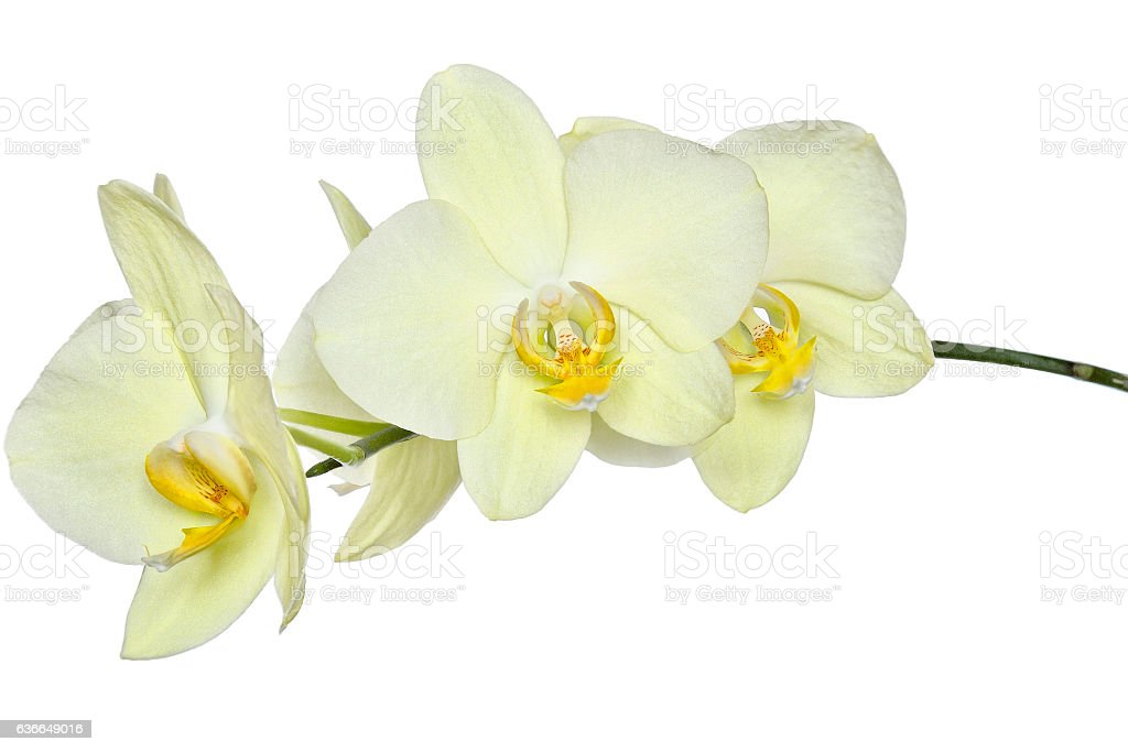 Delicate yellow orchids stock photo