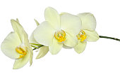 Delicate yellow orchids