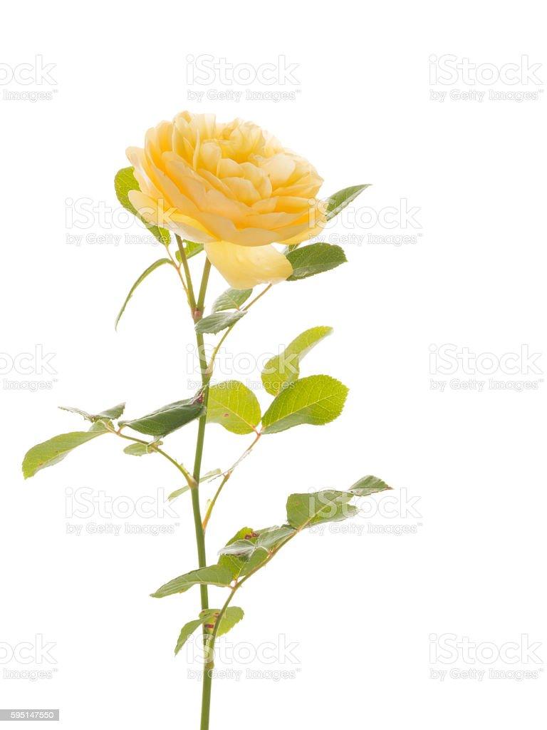 delicate yellow rose stock photo