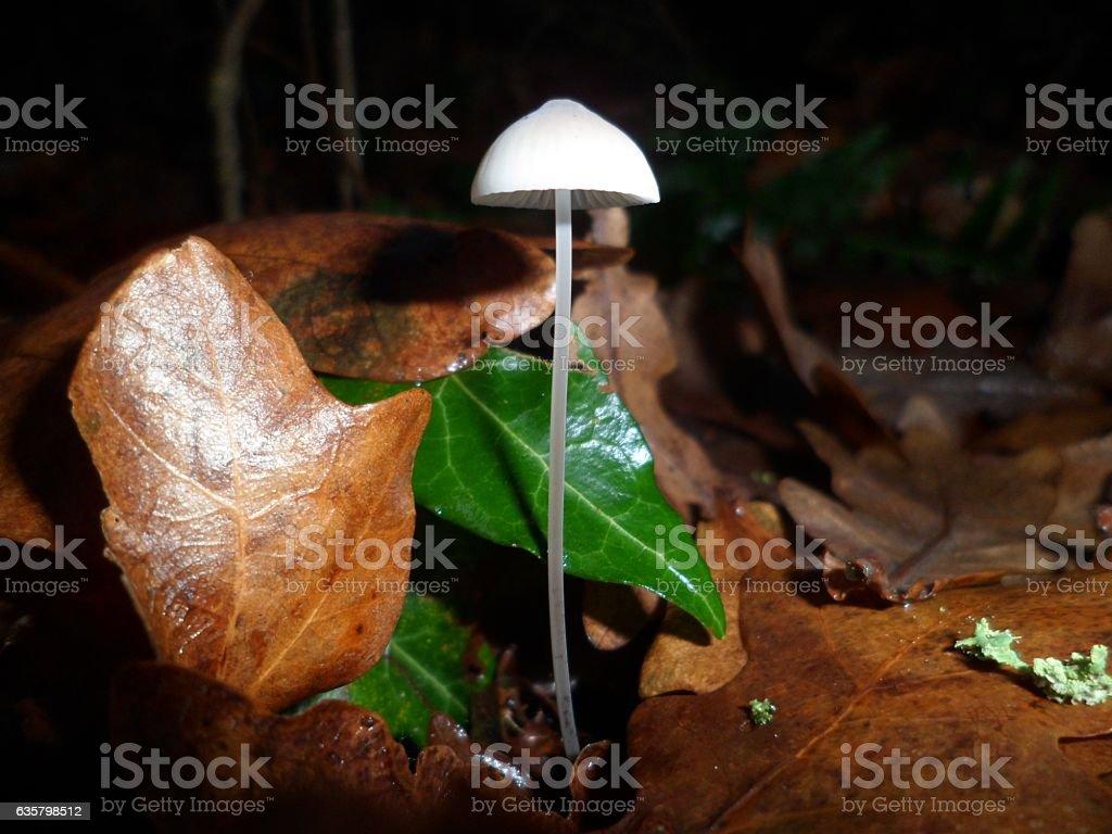Delicately beautiful Iodine Bonnet mushroom (Mycena filopes) stock photo