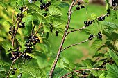 Delicious black currant on the bush in Sweden, Scandinavia