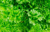 Delicious fresh green parsley on white background