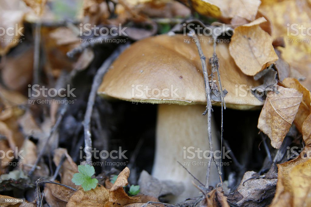 Delicious Mushroom in the autumn foliage royalty-free stock photo