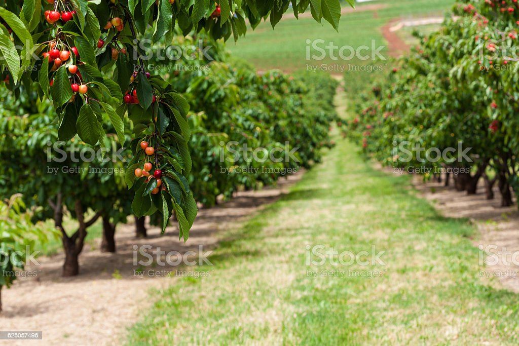 Delicious red cherries hanging on tree branch stock photo