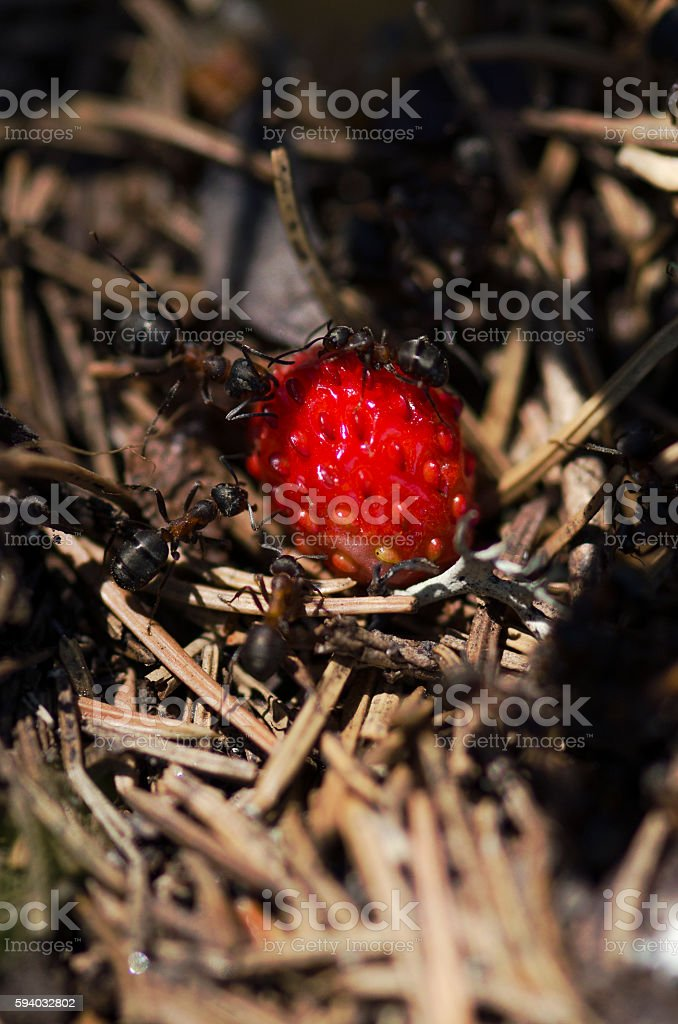 Delicious wild strawberry and ants stock photo