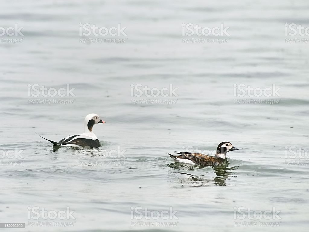 Delmarva Long-tailed Ducks In February stock photo