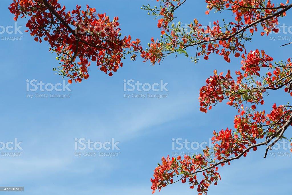 Delonix Regia in red bloom in a park in VietNam royalty-free stock photo