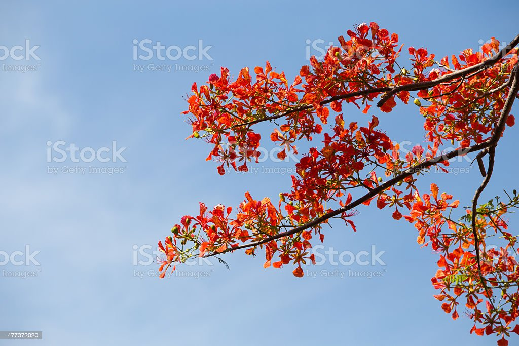 Delonix Regia in red bloom in a park in VietNam royalty-free stock photo
