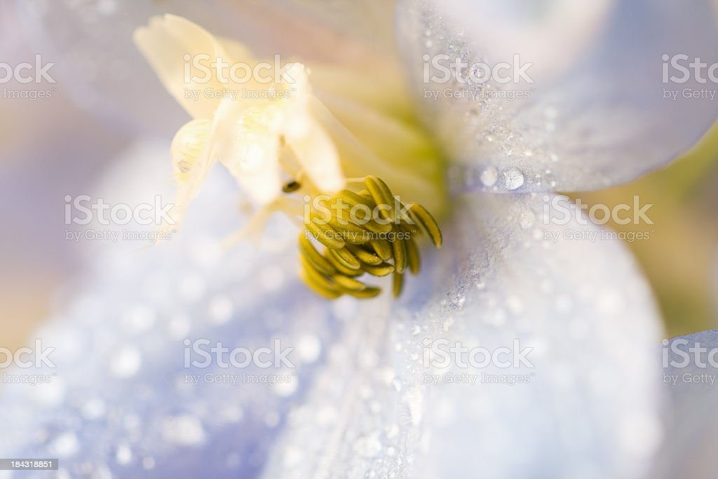 Delphinium Macro royalty-free stock photo