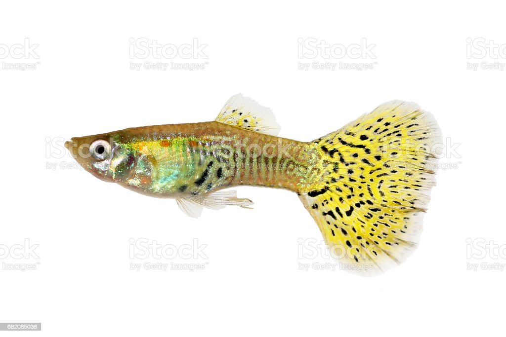 Delta Guppy Poecilia reticulata colorful rainbow tropical aquarium fish stock photo