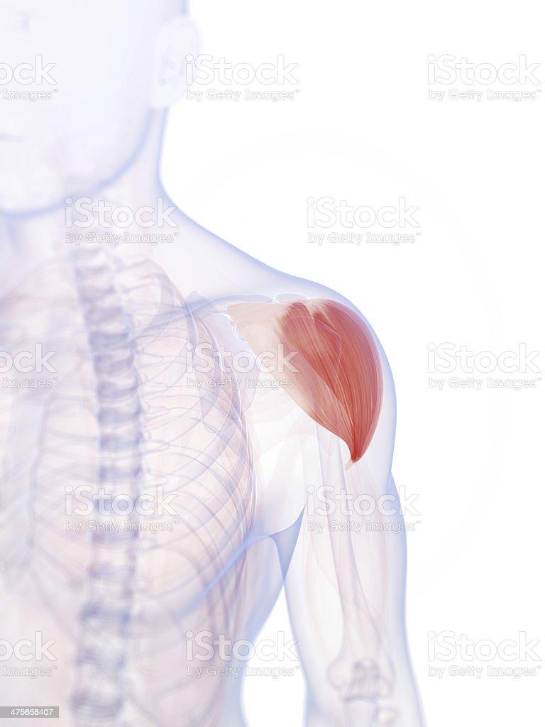 deltoid muscle stock photo