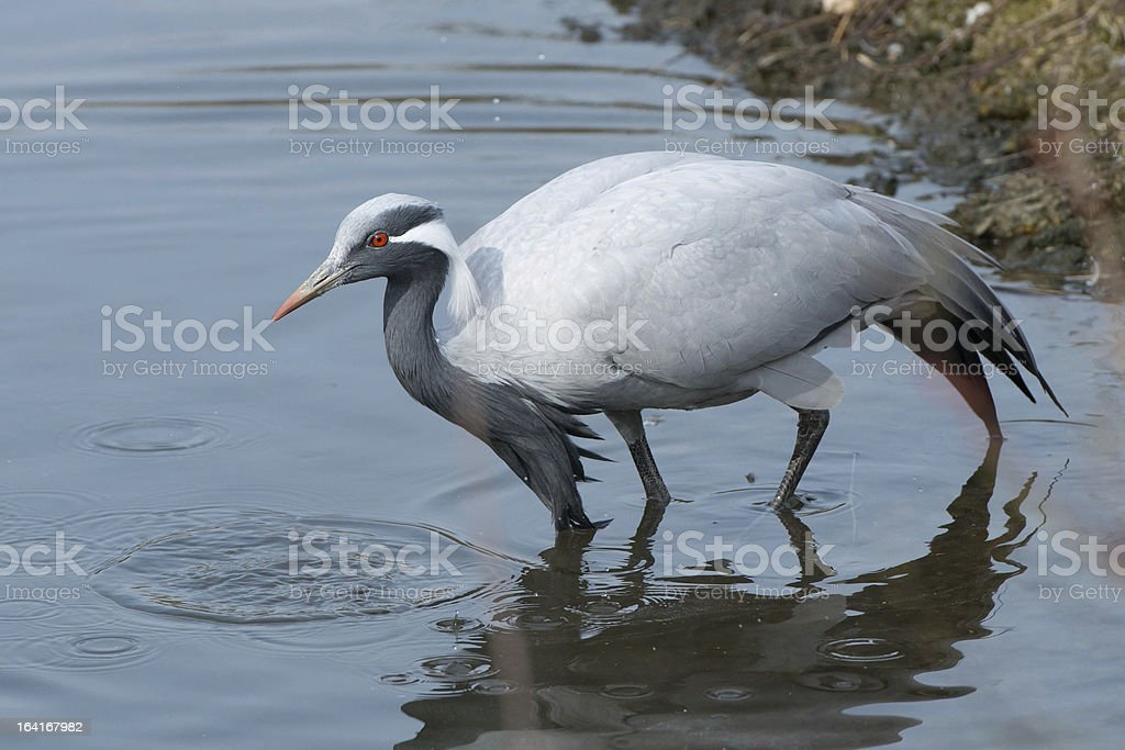 Demoiselle Crane in water royalty-free stock photo