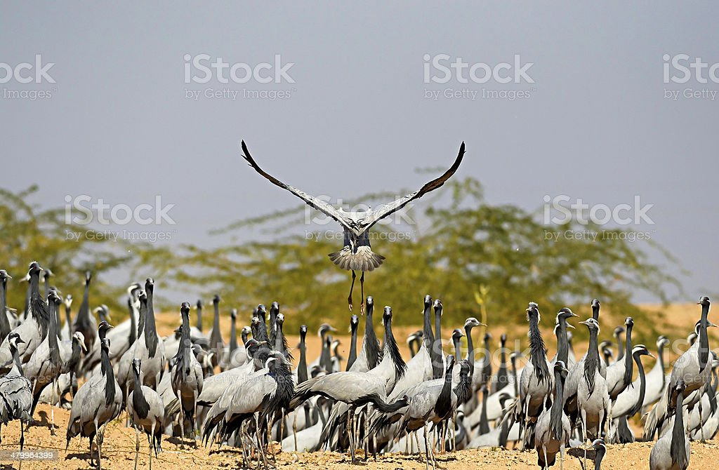 Demoiselle crane (Anthropoides virgo) stock photo