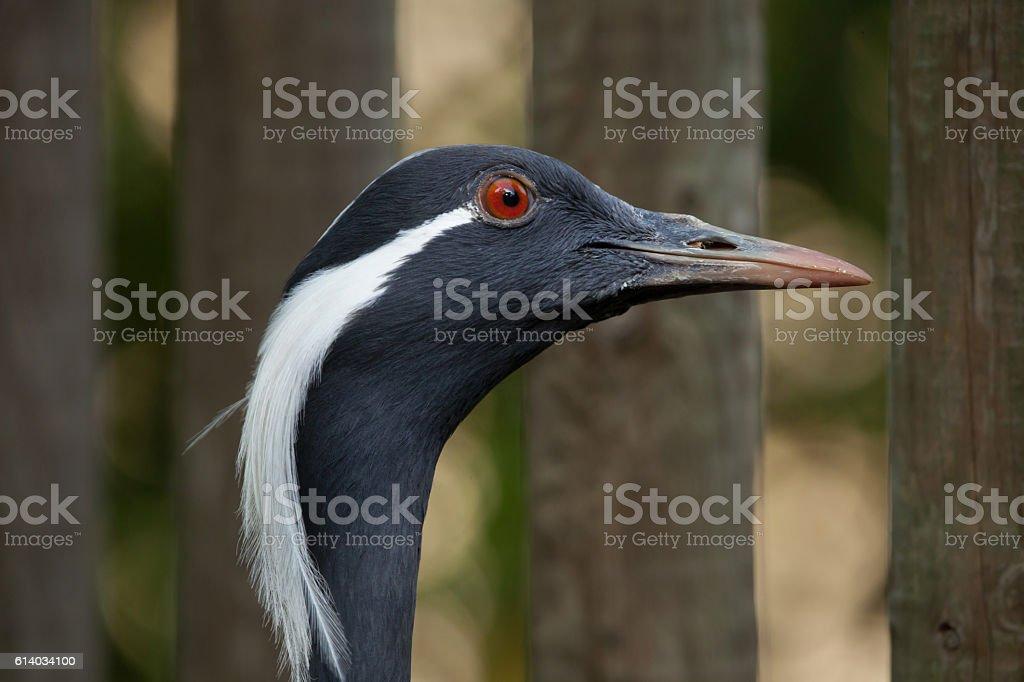 Demoiselle crane (Anthropoides virgo). stock photo