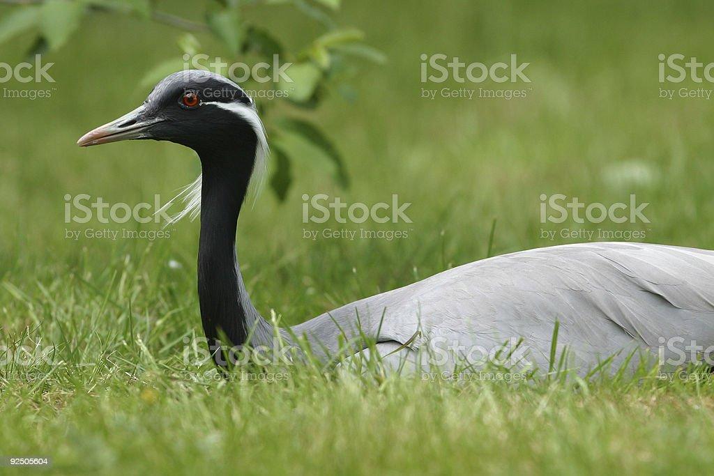 Demoiselle crane royalty-free stock photo