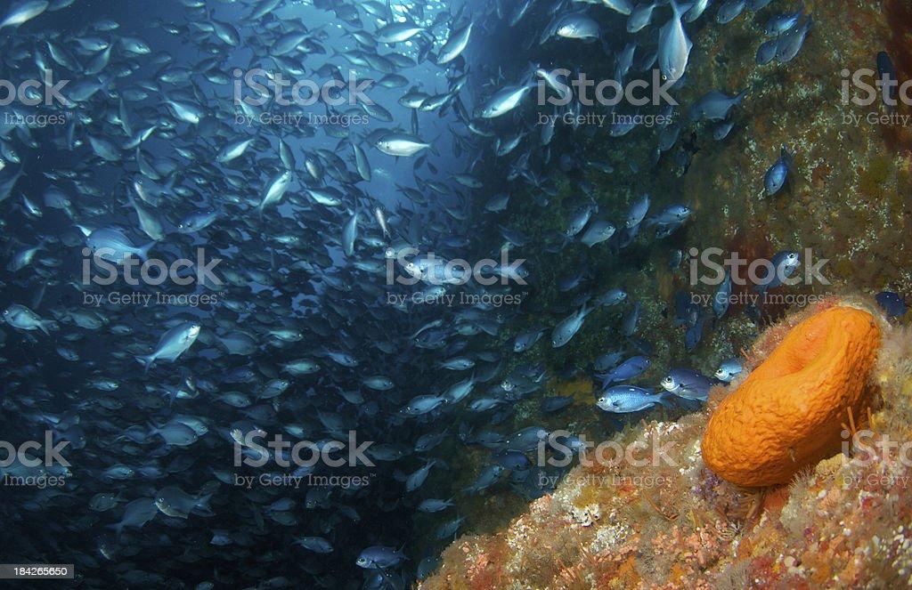 Demoiselles and sponge stock photo