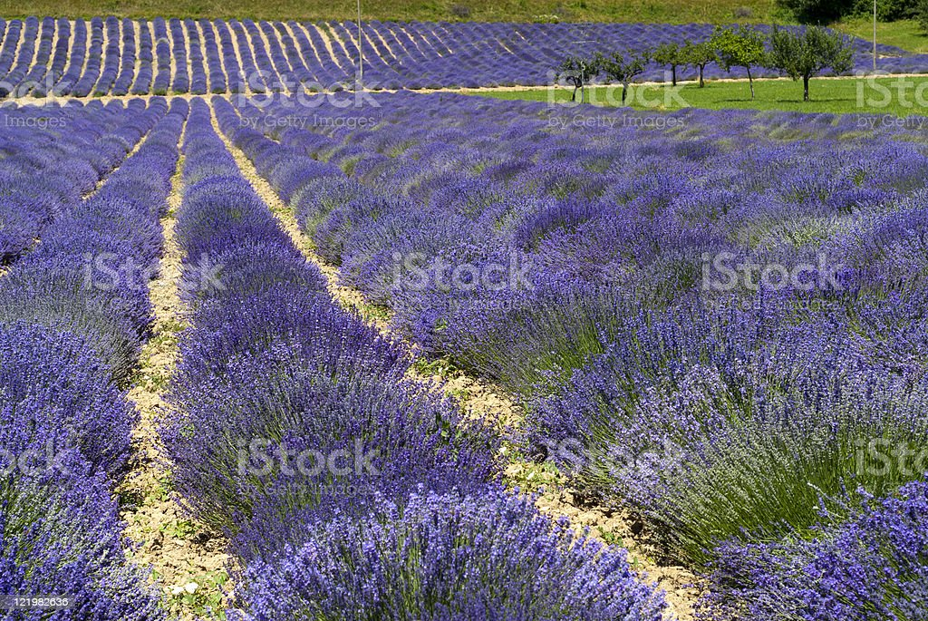 Demonte (Piedmont), Field of lavender at summer royalty-free stock photo