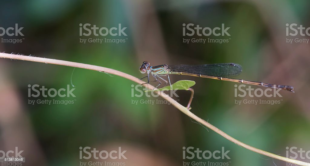 Demselfly (Dragonfly) stock photo