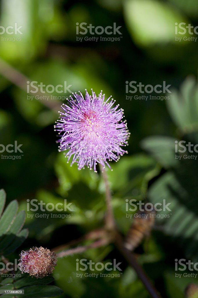 Mimosa pudica stock photo